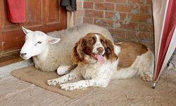 В Германии нашли овцу, считающую себя... собакой