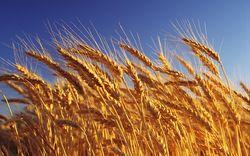 Котировки пшеницы в США 10 октября возросли и изменились в разных направлениях в Европе