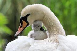 Как птенцы узнают свою мать? Ученые открыли гормон запоминания