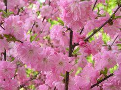 В Кыргызстане зацветет японская сакура
