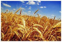 На стоимость пшеницы влияет погода