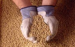 Трейдеры о текущей ситуация рынка соевых бобов
