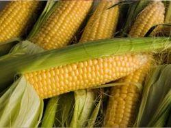Что ждет рынок кукурузы в краткосрочной перспективе?