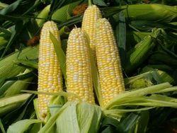 JPMorgan оценил перспективы рынка кукурузы США