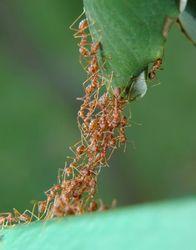 """При принятии сложных решений муравьи используют """"коллективный мозг"""""""