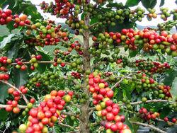 """Кофе """"арабика"""" на бирже готово к пробитию минимумов"""
