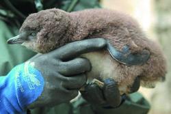 В Новой Зеландии нашли пингвиненка – за 2 тысячи километров от «дома»