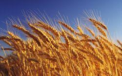 Растущий доллар и высокие прогнозы на урожай давят на пшеницу - трейдеры