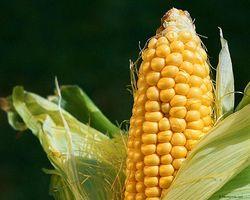 Перу обзаведётся новым сортом кукурузы