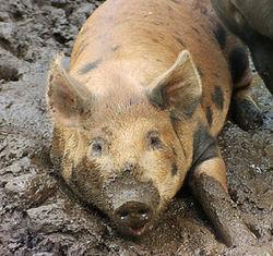 USDA о перспективах рынка свинины США