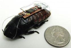Ученые научились управлять тараканами