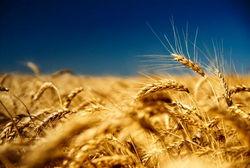 Мировое потребление пшеницы в 2012-2013 МГ упадёт до 677 млн. тонн