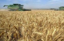 Изнанка богатого урожая: украинские хлеборобы получают убытки