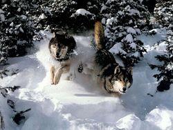 В Якутии объявили режим ЧС и большую охоту на волков