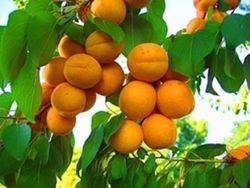 Погода благоприятствует урожаю абрикос в Армении