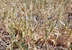 Засуха охватила 50 процентов сельхозпосевов Украины