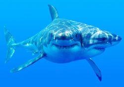 Ученые объяснили феномен двухголовой акулы в океане