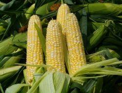 Урожай сои и кукурузы будет у Бразилии на высоком уровне