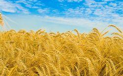 295 тыс. тонн канадской яровой пшеницы было закуплено Китаем