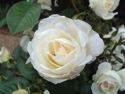 В Киеве для Мадонны выращивают тысячи белых роз