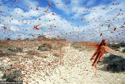 Таджикистан борется с нашествием саранчи