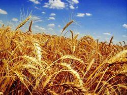 В 4 раза вырос темп экспорта российского зерна