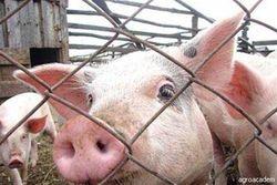Украина ввела запрет на ввоз всех продуктов белорусского свиноводства