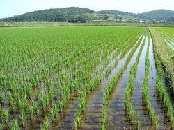 В Камбодже наладилось производство риса и его экспорт