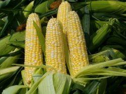 Рынок кукурузы прекратил дальнейший рост