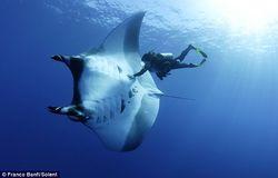 Морскому скату манта угрожает полное исчезновение
