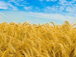 В Канаде прогнозируют повышение производства пшеницы