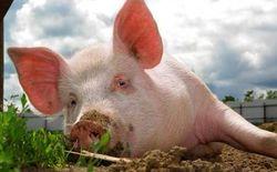 Цена на рынке свинины и в дальнейшем будет двигаться флетообразно