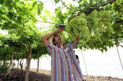 В Крыму собрали вдвое больше винограда – как урожай скажется на ценах