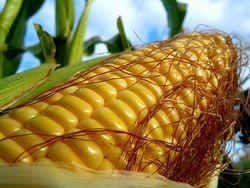 Запасы американской кукурузы к концу текущего МГ упадут до 16 млн. тонн