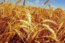 На январских тендерах Япония закупила крупную партию пшеницы