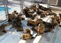 Удар по экологии: в Калифорнии на берег выбросились морские львы