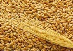 Цена на фьючерс пшеницы торгуется на минимумах