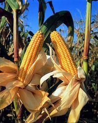 Цены на кукурузу упали до полугодичного минимума