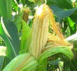 Китай инвестирует в кукурузу Украины