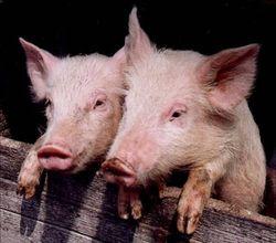 USDA: рынок свинины находится в неопределенности