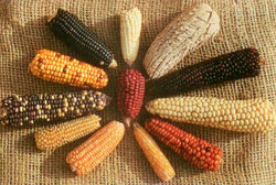 Росту рынка кукурузы способствовали низкие показатели экспорта - трейдеры