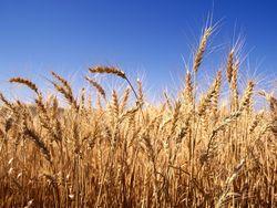 Пшеница в США дорожает