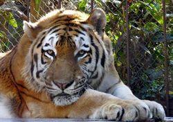 Тигр напал на  человека в крымском сафари-парке