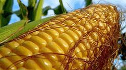 Цены на кукурузу в мире могут продолжить рост