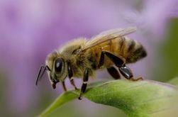Ученые Хорватии запускают проект разминирования с помощью пчел-саперов