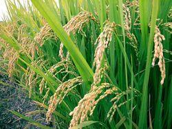 Бирма определилась с экспортными поставками риса