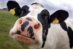 Рынок крупного рогатого скота в долгосрочной перспективе продолжит свой рост