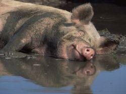 Цены на фьючерс свинины в мире падают - трейдеры