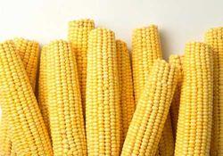 Погода остается единственным фактором движения цен на рынке кукурузы