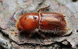 Ученые нашли виновников глобального потепления - жуков-короедов